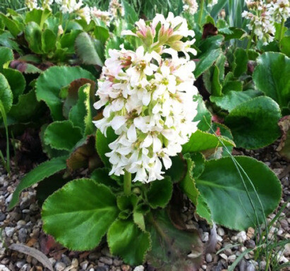 Indispensable Elephant's ears, bergenia