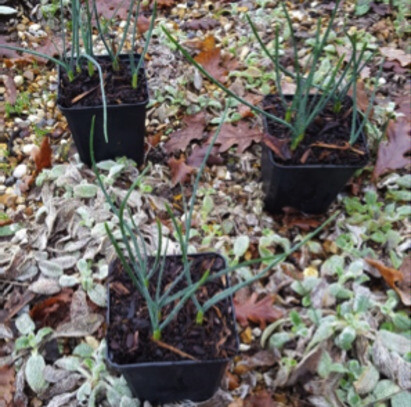 Potted dwarf bulbs and why we prefer to plant bulbs in the Spring